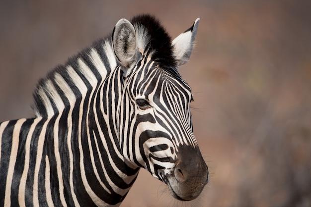 Снимок крупным планом зебры