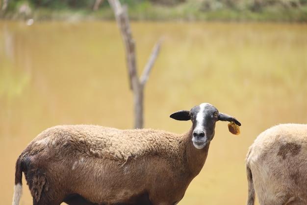 農地の愛らしい短い髪の羊のクローズアップショット