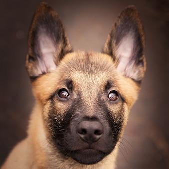 ベルジアン マリノアの愛らしい子犬のクローズ アップ ショット
