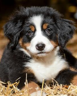 Снимок очаровательного бернского горного щенка крупным планом