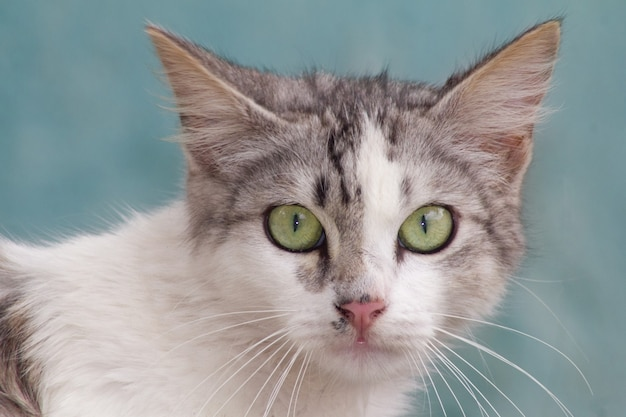 Снимок очаровательной домашней кошки на синем фоне крупным планом