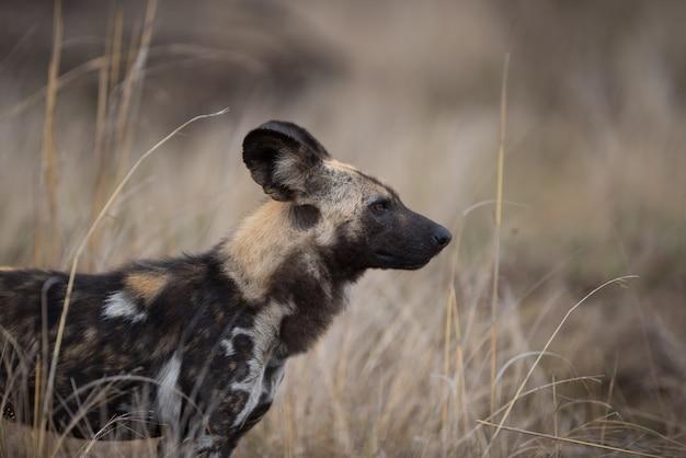 アフリカの野生の犬のクローズアップショット