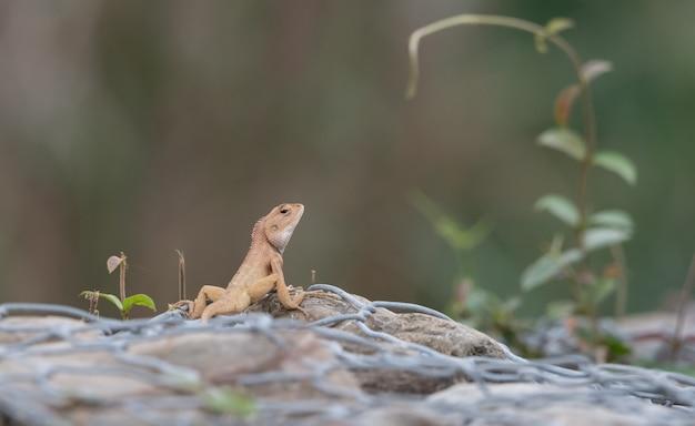 바위에 agama 도마뱀의 근접 촬영 샷
