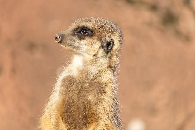 砂漠で警戒されている警告ミーアキャットのクローズアップショット