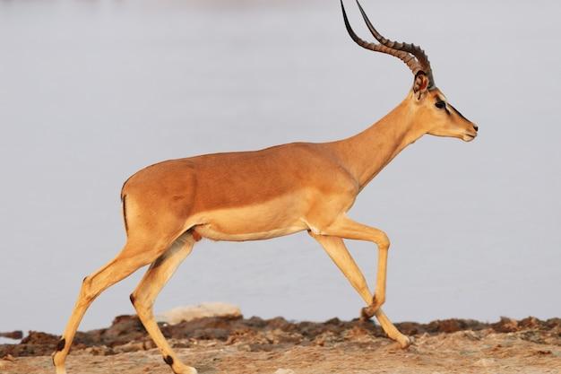 Снимок крупным планом антилопы, бегущей по каменистой местности