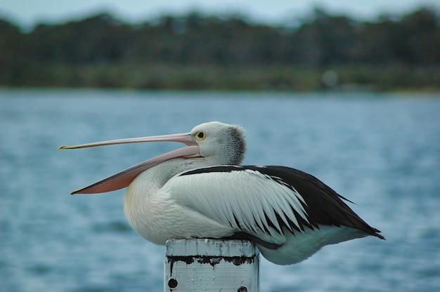 Крупным планом австралийский пеликан отдыхает на столбе в метунг виктория.