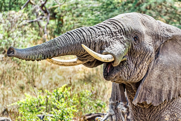 Снимок крупным планом слона, издающего звук трубы, проталкивая воздух через хобот