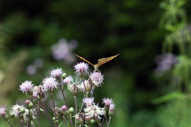 Крупным планом выстрел оранжевой бабочки на фиолетовые цветы