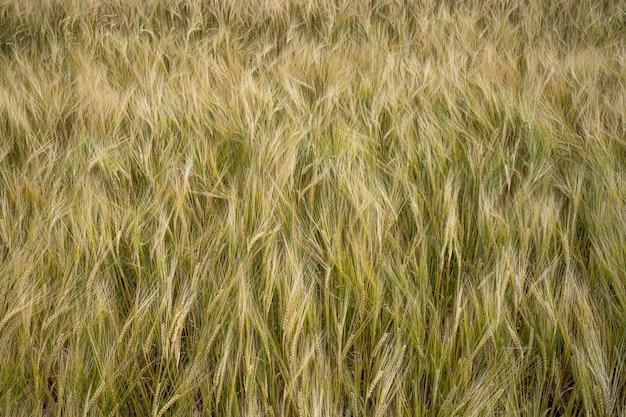 Снимок крупным планом зерен ячменя в поле, развевающемся на ветру