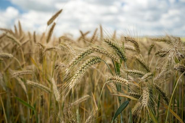 필드에서 보리 곡물의 근접 촬영 샷