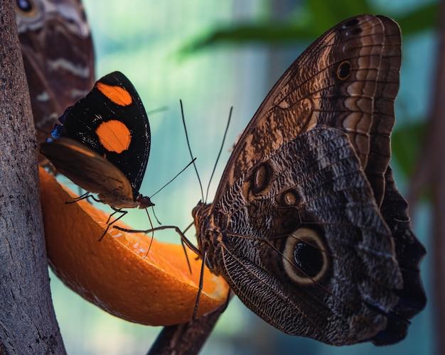 Снимок крупным планом красивых бабочек, едящих дольку апельсина