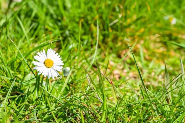햇빛 아래 정원에서 아름다운 데이지의 근접 촬영 샷