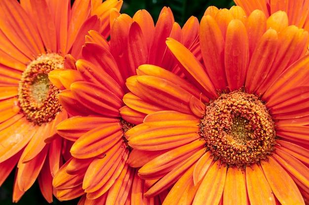 Крупным планом выстрелил красивый оранжевый цветок ромашки барбертон