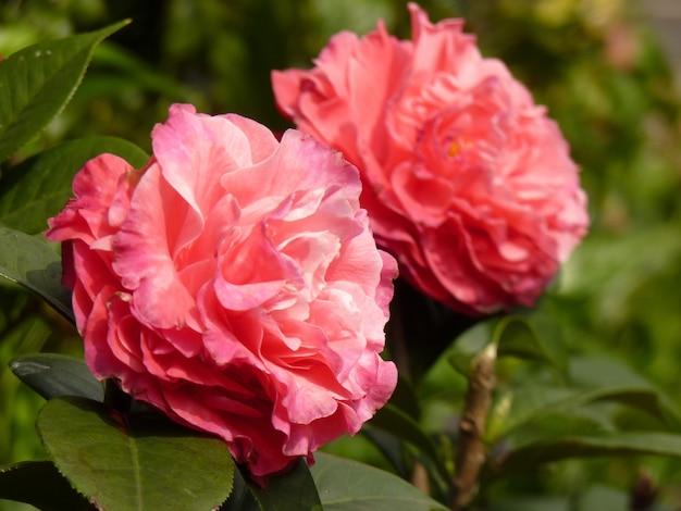 庭の美しいピンクの椿のクローズ アップ ショット
