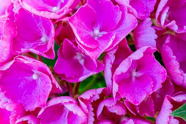 낮 동안 야외에서 아름다운 핑크 수국 꽃의 근접 촬영 샷