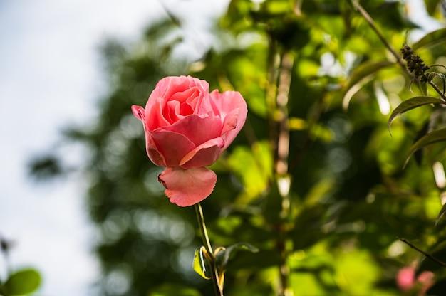 ぼやけた背景の庭に咲く美しいピンクのバラの花のクローズアップショット