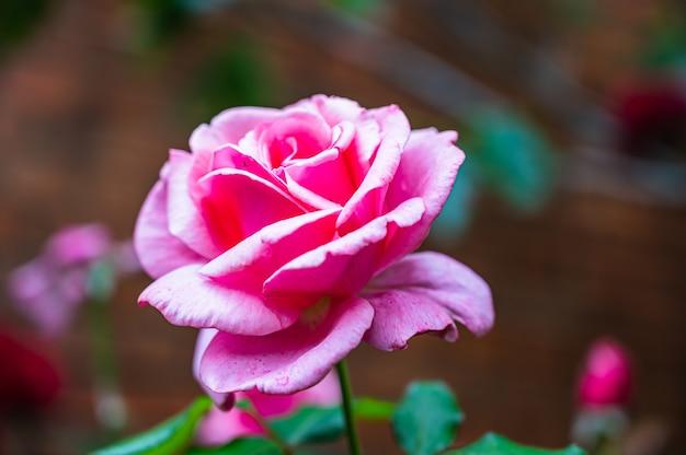 Крупным планом выстрелил красивый розовый цветок розы, цветущий в саду