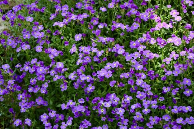 Снимок крупным планом красивых фиолетовых цветов aubretia
