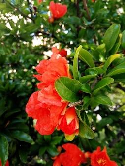Снимок крупным планом красивых красных цветов цезальпинии в саду