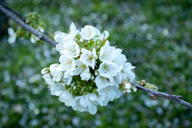 아름 다운 하얀 벚꽃 꽃의 근접 촬영 샷