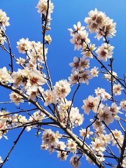아몬드 나무와 푸른 하늘에 아름다운 흰색 꽃의 근접 촬영 샷
