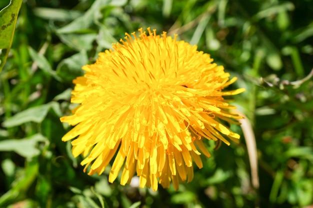 Крупным планом выстрелил красивых желтых цветов одуванчика