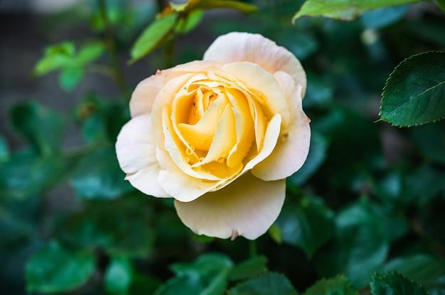 Крупным планом выстрелил красивый желтый цветок розы, цветущий в саду