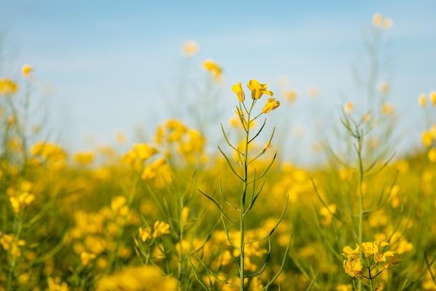큰 농업 분야에서 개화 유채의 근접 촬영 샷