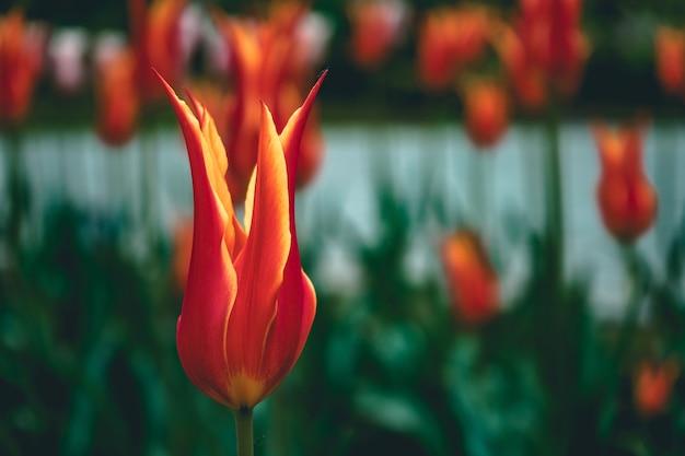 정원에서 피는 빨간색과 노란색 튤립의 근접 촬영