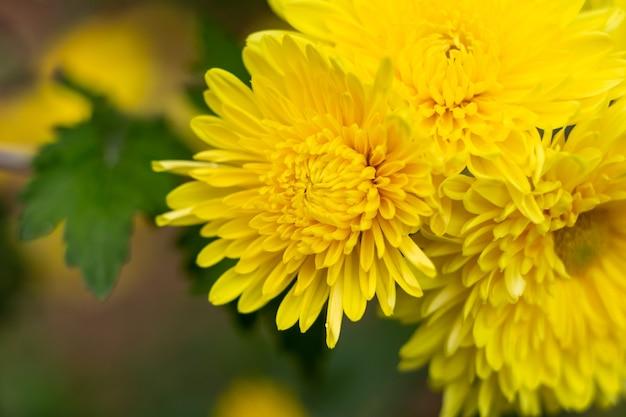 庭に咲く黄色い菊の花のクローズアップショット。グリーティングカードの概念
