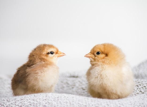 Крупным планом выстрел коричневых цыплят на ткани с белым фоном