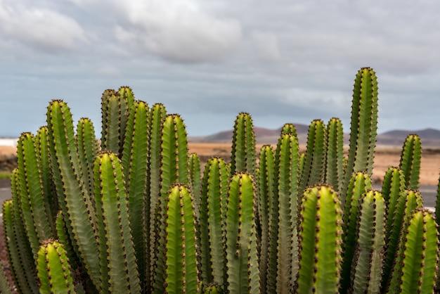 스페인 안티구아의 museo del queso majorero 정원에 있는 선인장 식물의 근접 촬영