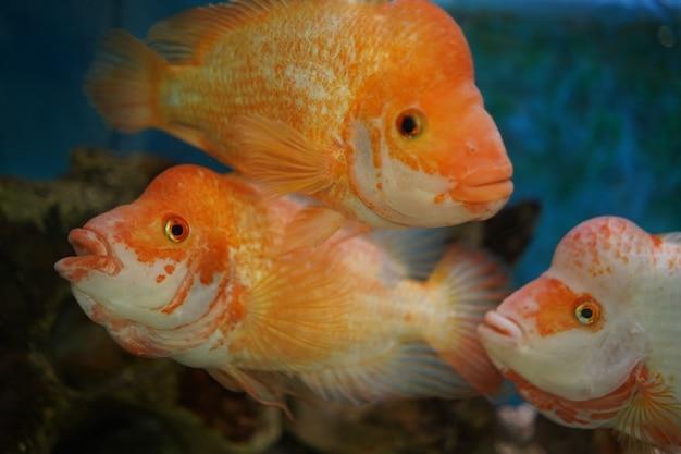 Снимок крупным планом цихлид плавает в аквариуме