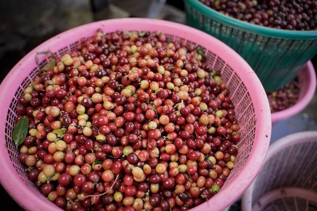 Крупным планом снимок кофейных зерен арабики, которые готовы к тестированию в процессе Premium Фотографии
