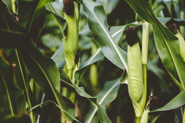 緑の葉に囲まれたトウモロコシのクローズアップショット