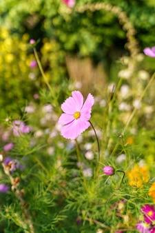 Снимок крупным планом милые цветы космоса под солнечным светом