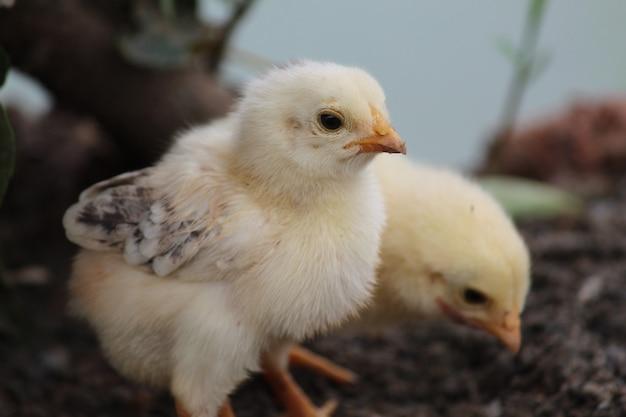 Снимок милых желтых цыплят на ферме крупным планом