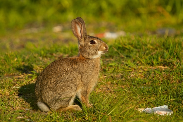 Крупным планом выстрел европейского кролика на лугу