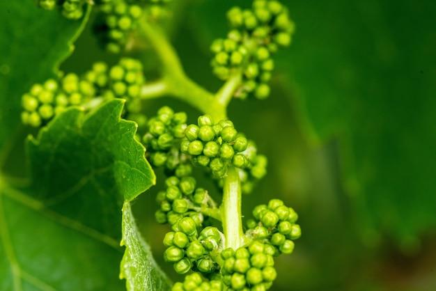 Крупным планом снимок свежих зеленых виноградных листьев на размытом фоне
