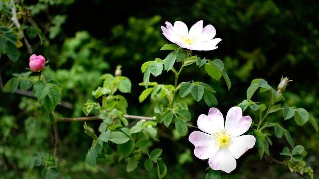 Крупным планом выстрел из розового шиповника в саду
