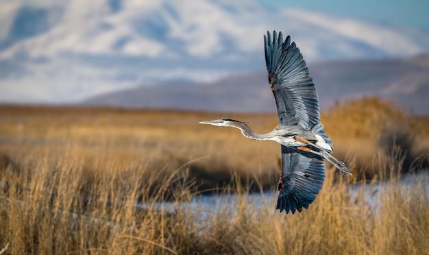 Крупным планом выстрел большой голубой цапли, летящей над большим соленым озером в штате юта
