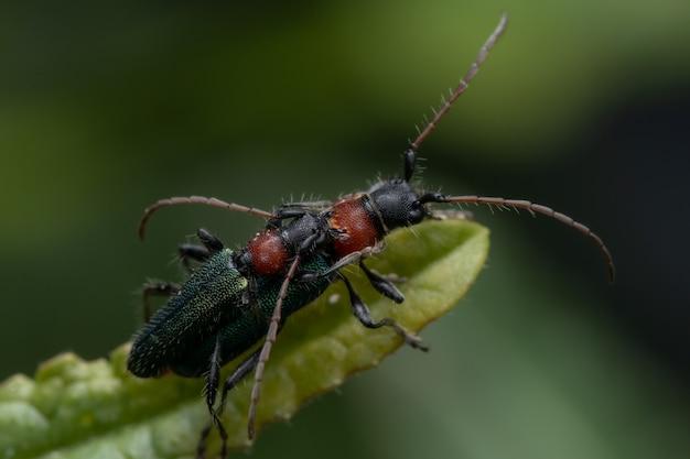 녹색 잎에 copulating 녹색 딱정벌레의 근접 촬영 샷