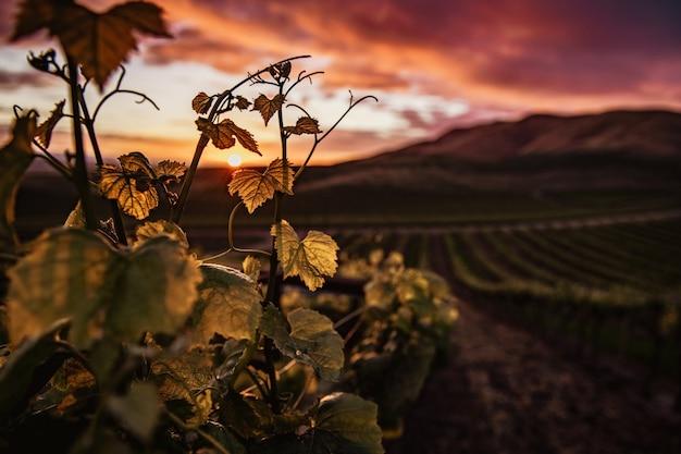 Крупным планом выстрел из зеленых виноградных листьев с красивым зеленым пейзажем