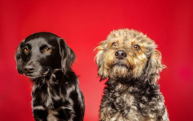 작은 goldendoodle 및 평면 코팅 리트리버 강아지의 근접 촬영 샷