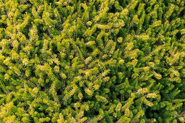 Крупным планом выстрел из листьев сосны