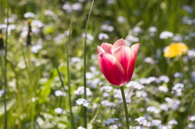 Bokeh 배경으로 핑크 튤립 꽃의 근접 촬영 샷