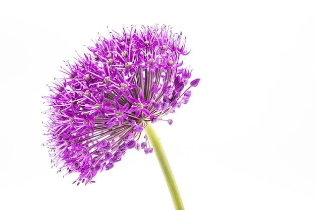 白の紫色のネギの花の頭のクローズアップショット