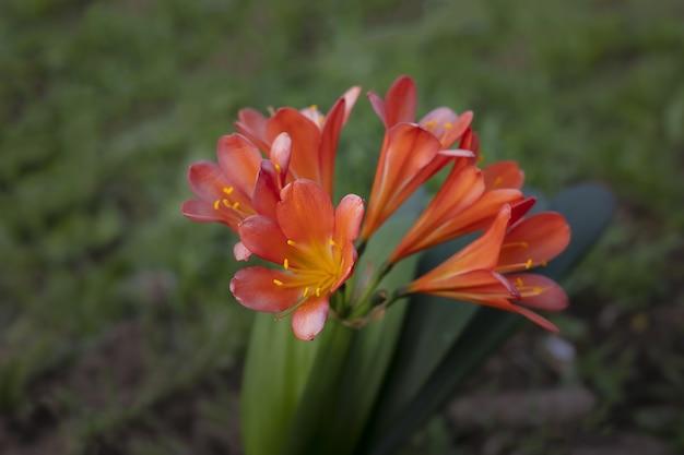 ぼやけた草と赤オレンジ色の出生ユリのクローズアップショット