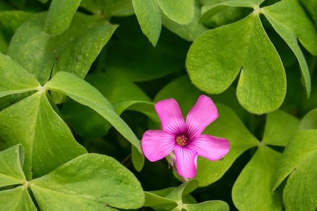 レッドウッドソレルの花のクローズアップショット