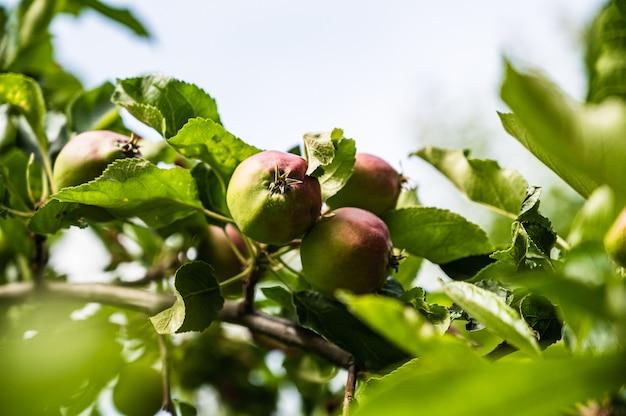 庭の枝に半熟したリンゴのクローズアップショット